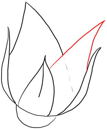 drawing rose