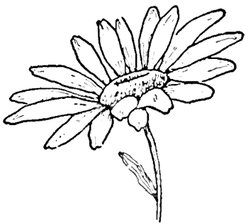 Drawing the Daisy How to Draw Daisies with Easy Step by Step