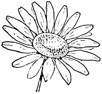 Drawing the daisy how to draw daisies with easy step by step step 5 finished drawing tutorial of daisy 2 ccuart Image collections