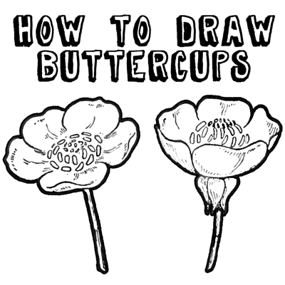 How to Draw Flowers Drawing Buttercups Step by Step Lesson How