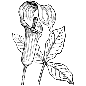 How to draw jack in the pulpit plant flower step by step drawing step 6 finished jack in the pulpit plant flower mightylinksfo
